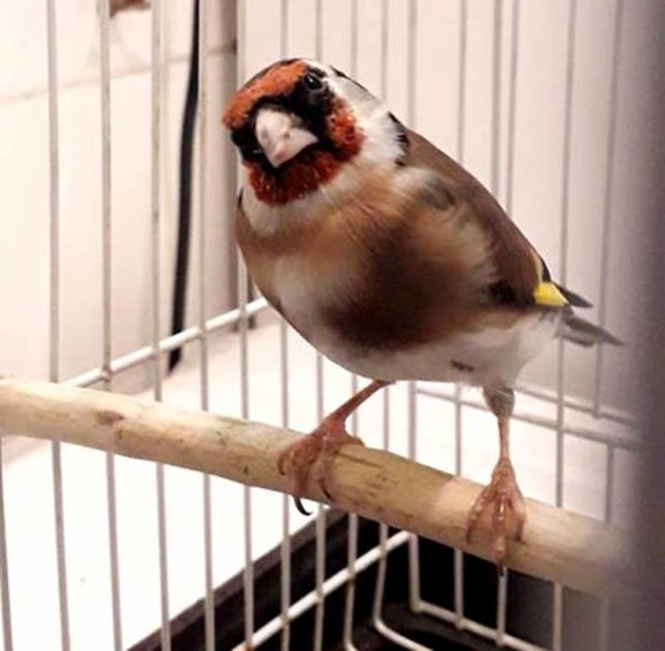 ? Le Chardonneret Toujours le Meilleur ? ❤ ??  https://www.facebook.com/ChardonneretGolden/  https://plus.google.com/+ChardonneretGolden  https://www.instagram.com/chardonneretgolden/  http://www.youtube.com/ChardonneretGolden  http://www.twitter.com/ChardonneretGol  http://chardonneretgolden.tumblr.com/  https://www.pinterest.com/chardonneretGolden/  http://chardonneretgolden.skyrock.com/  https://chardonneretgolden.blogspot.com/  https://chadonneret.e-monsite.com/  #الحسون #المقنين #القرديل #سهره #الحسون_الذهبي #الحسون_قولدن #ChardonneretGolden #Chardonnerert #Goldfinch #Jilguero #Cardellino #καρδερίνα #Sakakuşu #Canari #Mulet #MuletOiseau #Oiseau #Birds #Chat #Chien #Cheval #Pigeon #Poisson #Reptile #Hibiscus #Animaux #Plantes #Science #Alger #Algérie