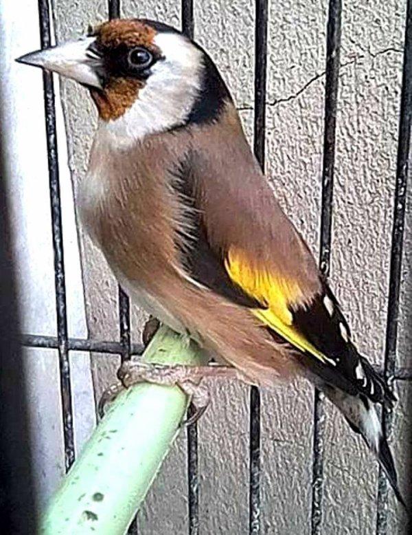 ? Le Chardonneret Toujours le Meilleur ?❤ ?? #الحسون #المقنين #القرديل #سهره #بلال_كيوس #BilelKios #ChardonneretGolden #Chardonnerert #Goldfinch #Jilguero #Cardellino #καρδερίνα #Sakakuşu #Canari #Mulet #MuletOiseau #Oiseau #Birds #Chat #Chien #Cheval #Pigeon #Poisson #Reptile #Hibiscus #Animaux #Plantes #Science #Alger #Algérie