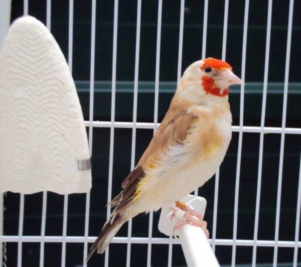 ? Le Chardonneret Toujours le Meilleur ?❤ ?? #الحسون #المقنين #القرديل #سهره #بلال_كيوس #BilelKios #ChardonneretGolden #Chardonnerert #Chardonneret_BK #Goldfinch #Jilguero #Cardellino #καρδερίνα #Sakakuşu #Canari #Mulet #MuletOiseau #Oiseau #Chat #Chien #Cheval #Pigeon #Poisson #Reptile #Hibiscus #Animaux #Plantes #Science #Alger #Algérie