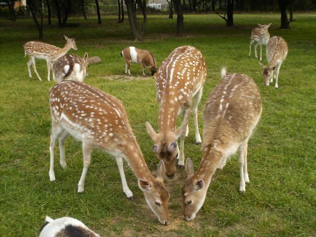 """Plus loin vous verrez """" bambi """" avec ses bois ! Ben là , comme chaque annee, il ne les a plus !!!"""
