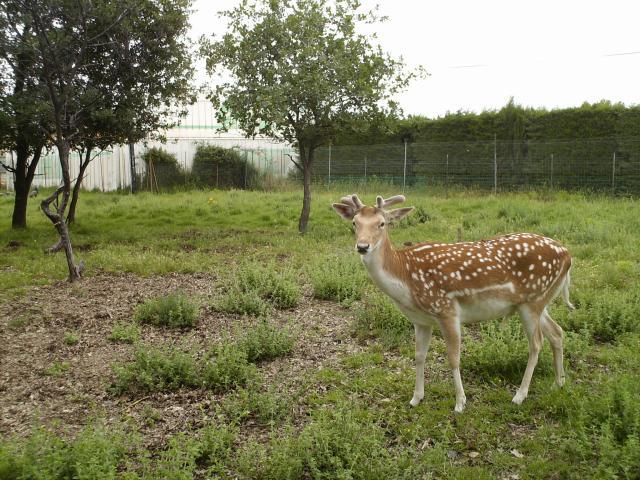 Voici Bambi avec la naissance de ses bois !