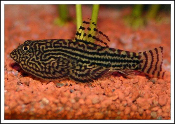 Articles de hatorie tagg s aquarium les betta spledens for Nettoyeur aquarium poisson