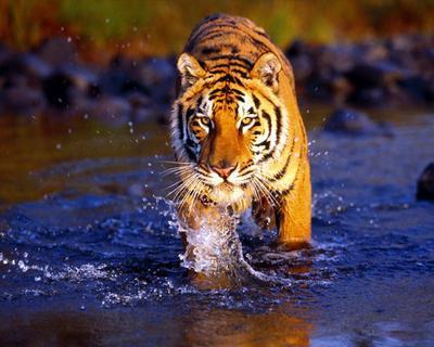 Depuis que je sais que les gros chats aiment bien l'eau, je bats tous le records de vitesse de natation!