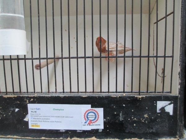 mâle isabelle brun poitrine noire poitrine orange N°76/16 champion avec 90pts