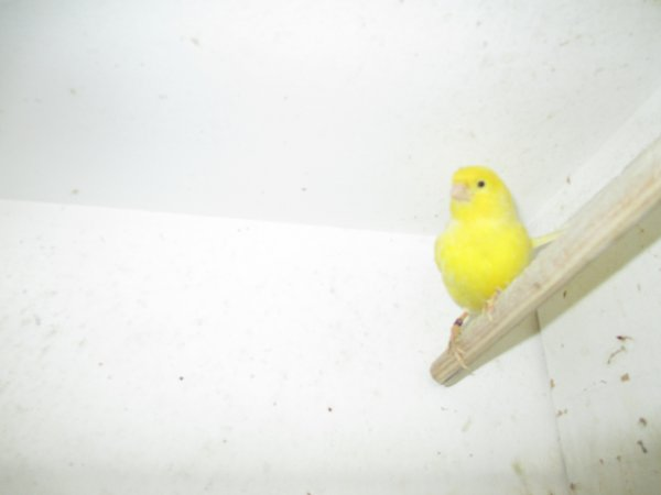 mes canaris mâles
