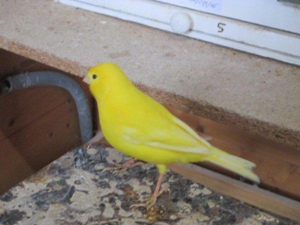 mes canaris la suite avec les jaunes intensifs