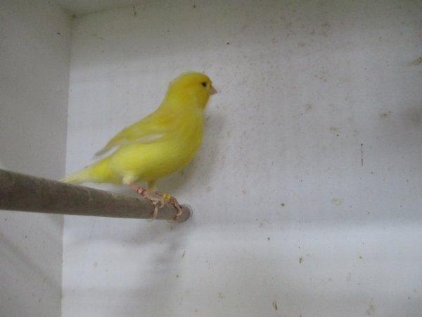 mes canaris la suite avec les jaunes schimmel et intensifs