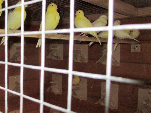 mes 28 jeunes canaris du 1er tour dans la volière