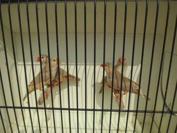 femelles mandarin brunes poitrine noire poitrine orange