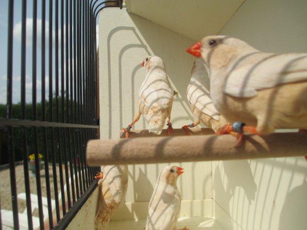 femelles isabelle brunes poitrine noire poitrine orange