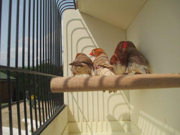 mandarins mâles bruns poitrine noire poitrine orange