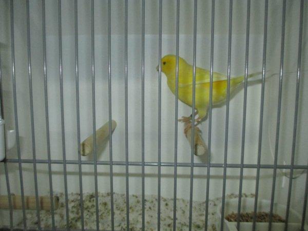 Louvain avec les lippochrome jaune schimmel