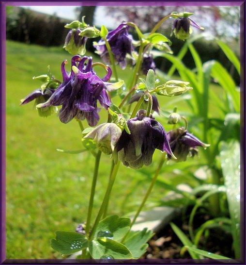 mes fleurs après la pluie quelque part en Normandie