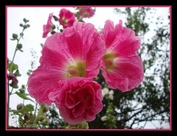 mes fleurs après la pluie