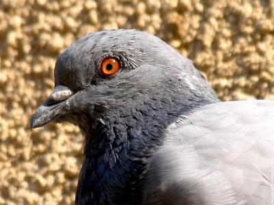 Les pigeons d'Apollonia I et II