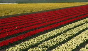 Les champs de Tulipe