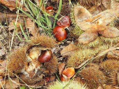 Récolte des Châtaignes 2012