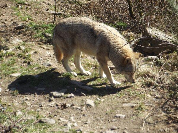 40 Loups seront abattus :(