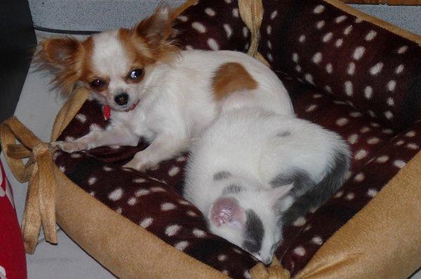 voiçi chipie et maya ça fait que 3 jours que j'ai ce chat et voyé elle s'entends bien avec ma crevette