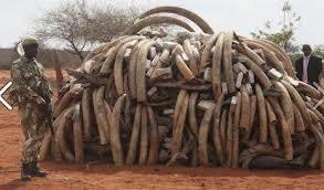 Horrible massacre des éléphants