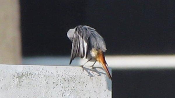 rouge-queue noir (femelle)