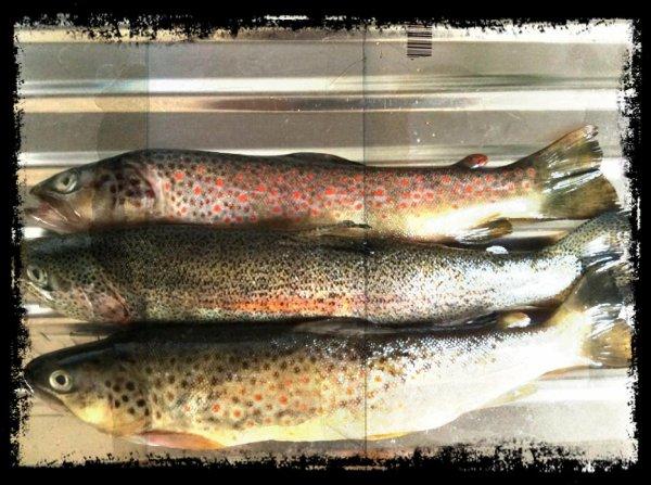Et trois belles truites en rivière  32, 31, 29 cm