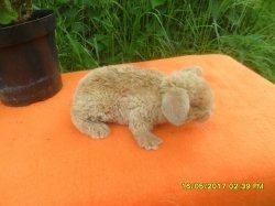 2 bébé ursula et bili belier rex né le 21 avril 2017