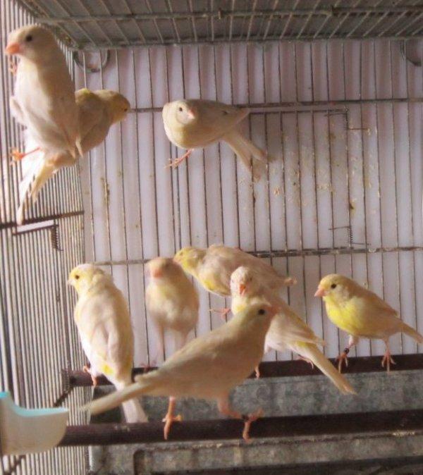 L'isabelle pastel jaune mosaïque en reproduction