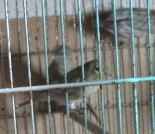 Le noir ailes grises jaune mosaïque en reproduction