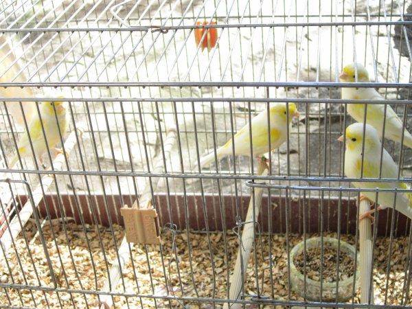 Stam jaunes mosaïque mâles pour le concours de Peypin (Bouches du Rhône)