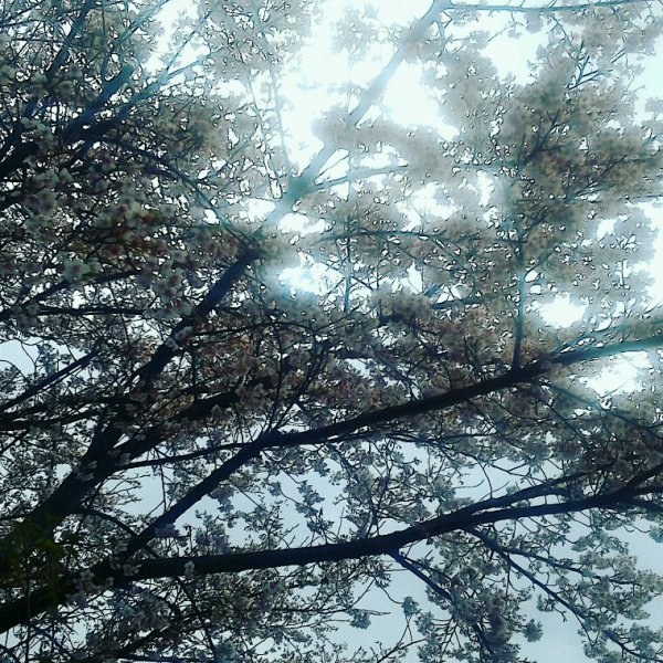 Cherry blossoms obstructing the sun