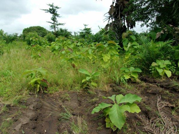 Les plantations, poulailler et distribution de linge Togo juin 2015