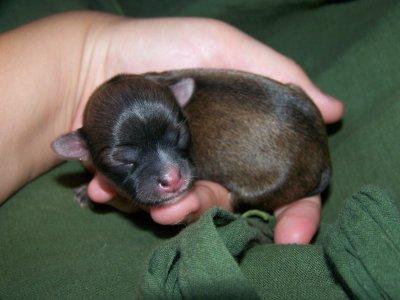 une petite femelle 82 gr a la naissance de couleur choco charbonné