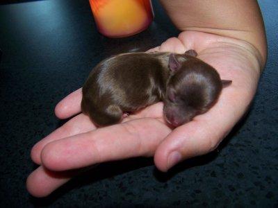 ultra miniature entiérement choco 45 gr a la naissance