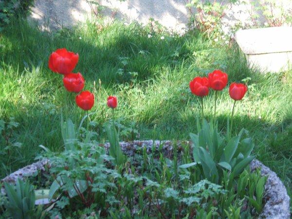 mes jolies tulipes...