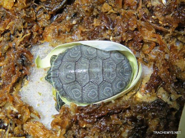 naissance 2013 Trachemys decussata angusta