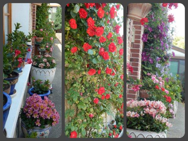 Une autre passion , un passe temps, qui me prend du temps mais qui est agréable quand on on voit le résultat.C'est gratifiant de voir ces différentes couleurs d'été . Le petit rosier deviendra grand , les pétunias explosent de mille corolles, les géraniums débordent de leur pot, les clématites se mélangent en grimpant, les alstroemerias s'étalent , les dipladénias apprécient le soleil en offrant plus de fleurs chaque jour . Toutes ces couleurs, ces odeurs, agrémentent cette période estivale à notre porte .