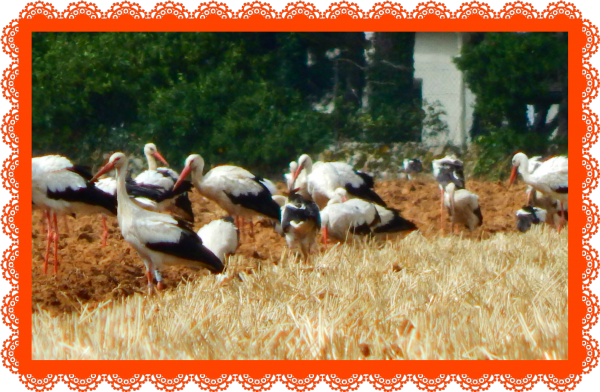 Une surprenante rencontre hier après-midi entre des cigognes et mon mari qui labourait son champ derrière chez nous .Je suis allée le rejoindre avec  mon appareil , évidement , et pas moins de trente deux cigognes parmi des mouettes ,venues se poser lors de leur long voyage vers les pays chauds ,pour se nourrir de vers que la charrue sortait de la terre. Elles s'envolèrent à mon arrivée et je suis donc monté dans le tracteur pour les photographier . Nous avons assisté à un ballet incessant d'envols devant et derrière le tracteur, attendant que la machine leur facilite la sortie d'insectes et de vers pour se régaler .Le spectacle fut amusant et cocasse dans la mesure ou le tracteur avançait et le roulis m'empêchait de cadrer  les photos et éviter les flous mais le résultat est assez bien réussi !! Leur présence dans nos plaines nous annoncerait elle la fin de l'été ? .