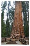 Sequoia : Le plus grand et le plus vieil arbre qui pousse en Californie.