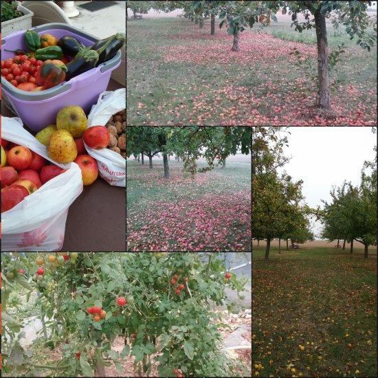 L'automne avec ses pommes , ses noix , et surprise de cette belle arrière saison exceptionnelle cette année, le jardin donne encore de bons légumes .... 23 Octobre , étonnant de cueillir tomates, aubergines , courgettes , poivrons , piments ..... Les réserves sont faites  !!  Même les fleurs apprécient cet été indien , alors qu'il serait l'heure de tailler , hiberner toutes ces couleurs , elles exposent encore ardemment leurs couleurs d'été .... Un vrai bonheur pour les yeux ....... Mais quel hiver va t'on avoir , un revers de médaille se prépare t'il ? ....
