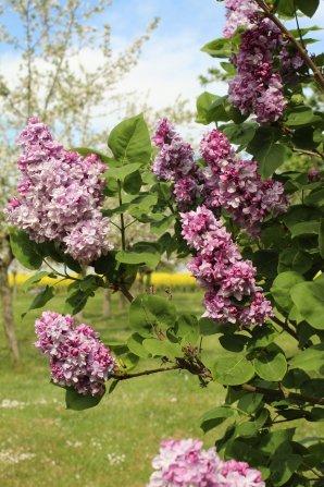 Notre Verger ...... Entre les Pommies , mirabelliers , cerisiers , en fleurs , le champs de Colza qui entoure notre verger , le Lilas et les roses de neiges précoces , les couleurs nous ravissent pour ce printemps très ensoleillé . Le confinement nous semble moins contraignant .