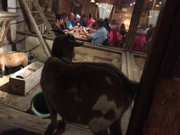 Une chèvre :