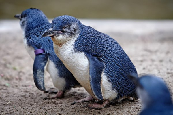 Austrália além da natureza: 10 animais que você não imagina encontrar por lá