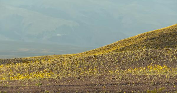 Fenômeno natural transforma o vale mais seco dos EUA em um maravilhoso mar de flores