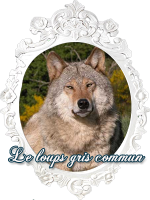 Le loups gris commun