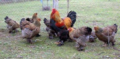 photo poules