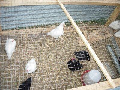 les poussins nés le 6 et le 7 avril 2011