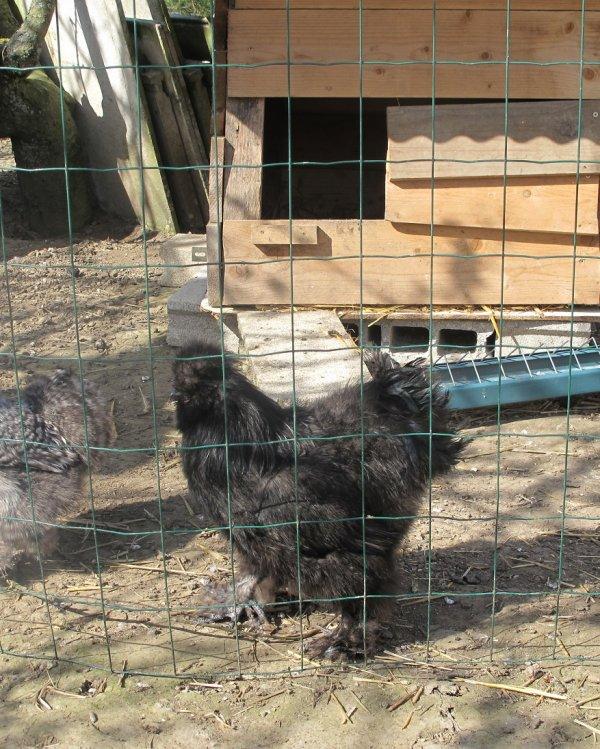 Mes poules soie.