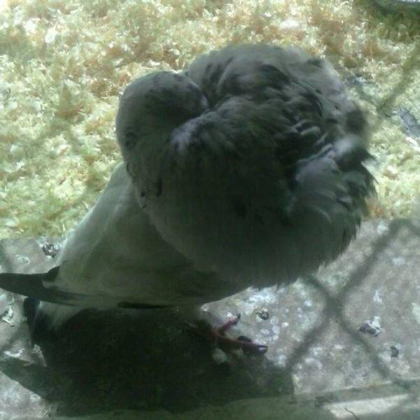 pigeon gaditano