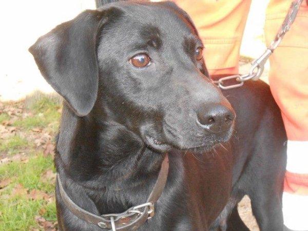 CRISTAL, chienne de type labrador noir de 8 ans